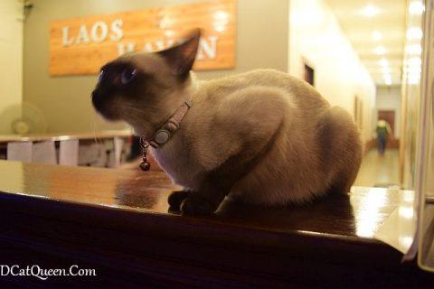 laos haven cat